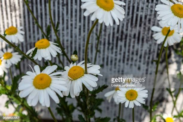white yellow daisies