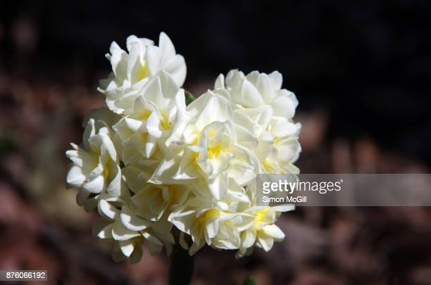 white and yellow jonquil narcissus daffodils in bloom - classical mythology character stock photos and pictures