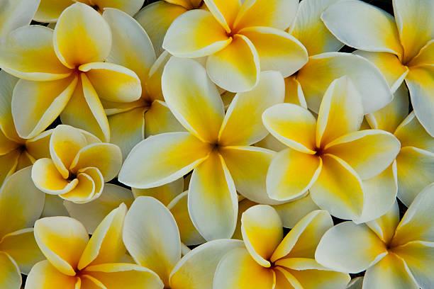 White And Yellow Pulmeria (or Frangipani) Flowers Wall Art