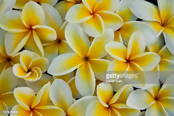 White and yellow Pulmeria (or Frangipani) flowers