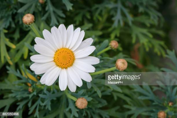 White and yellow pyrethrum flower in a vase with green background