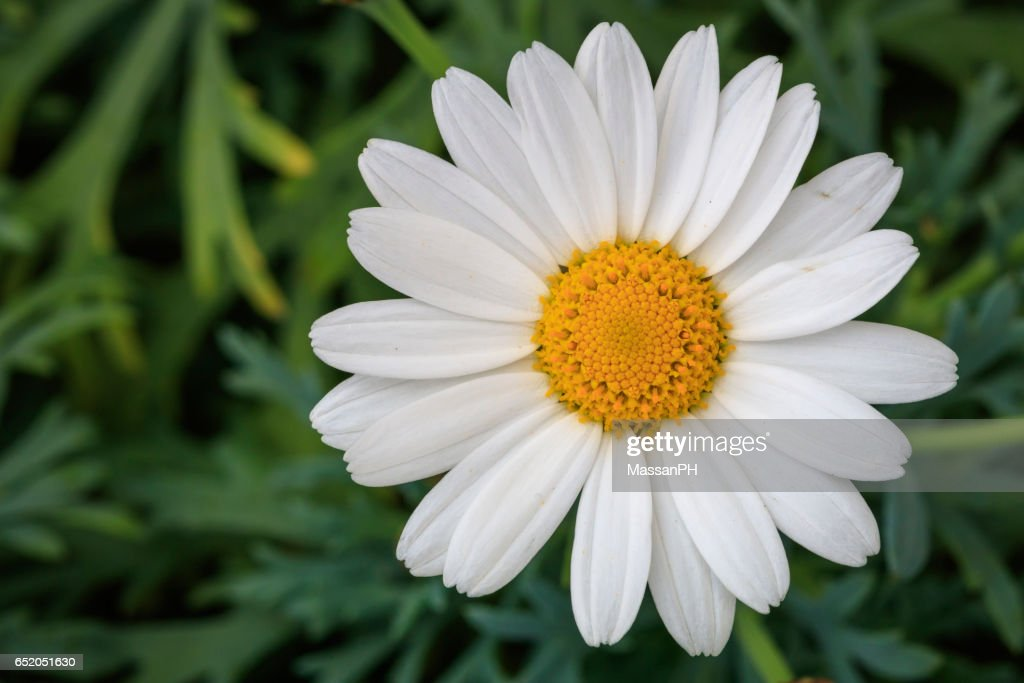 White and yellow pyrethrum flower in a vase with green background : Stock Photo