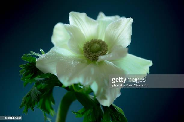 white anemone flower - 屋内 stock pictures, royalty-free photos & images