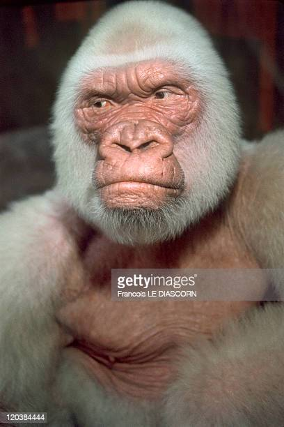 White Animals in Barcelona Spain Snowflake Albinos gorilla Barcelona zoo