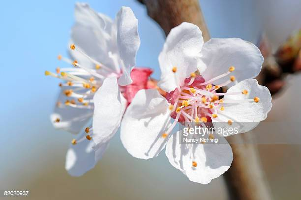 white apricot blossoms, prunus armeniaca. san jose, california, usa. - apricot tree stock pictures, royalty-free photos & images