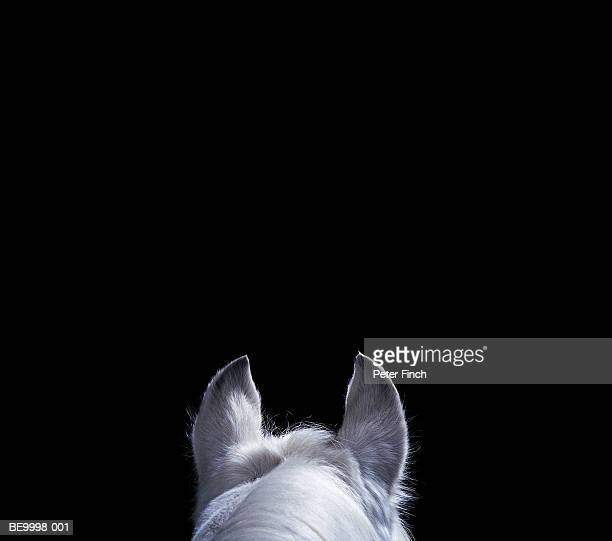 White Arabian horse, top of head and ears against black background