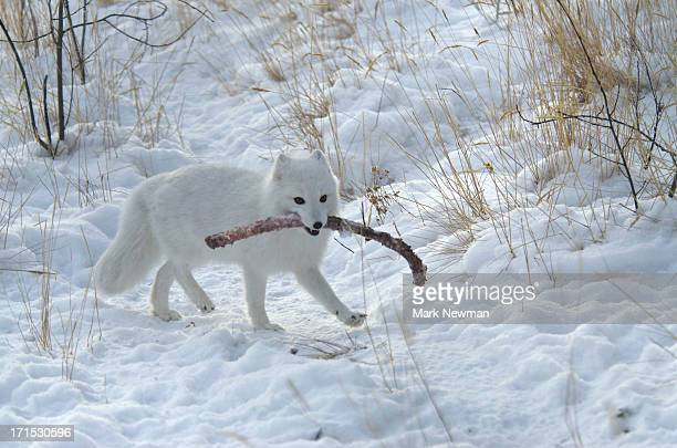White arctic fox carrying long rib meal