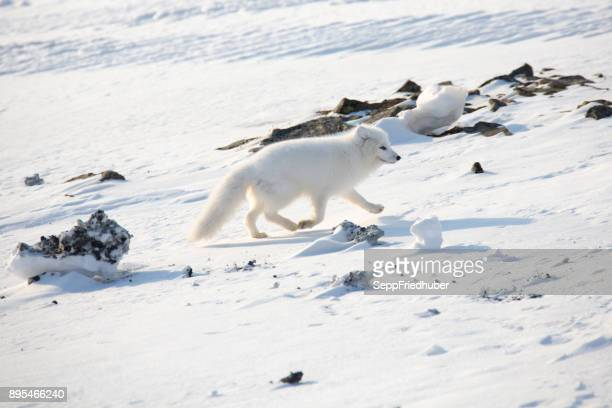 white arctic fox walking in the snow - arctic fox stock pictures, royalty-free photos & images