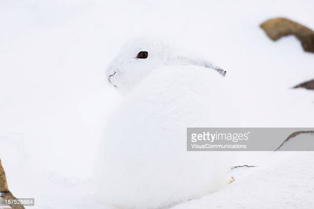White Arctic rabbit hare looking over its shoulder on snow