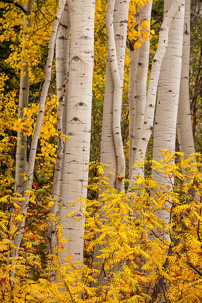 White aspen trunks with golden fall foliage