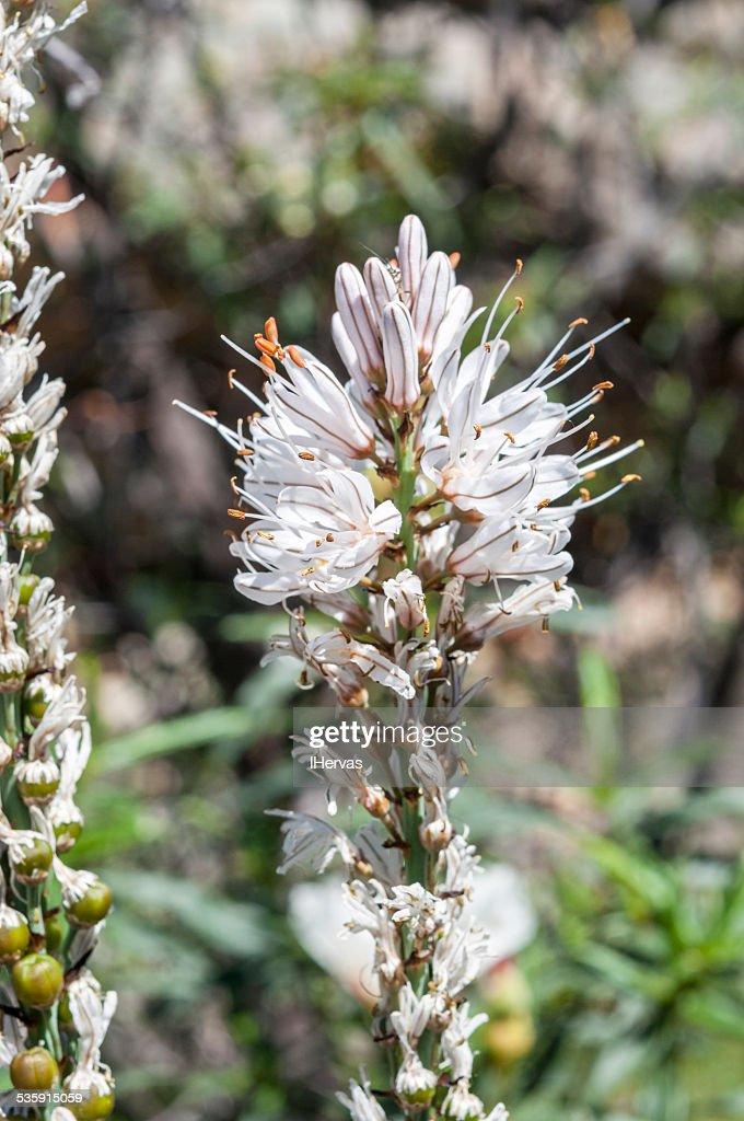 Branco asphodel, Asphodelus albus : Foto de stock