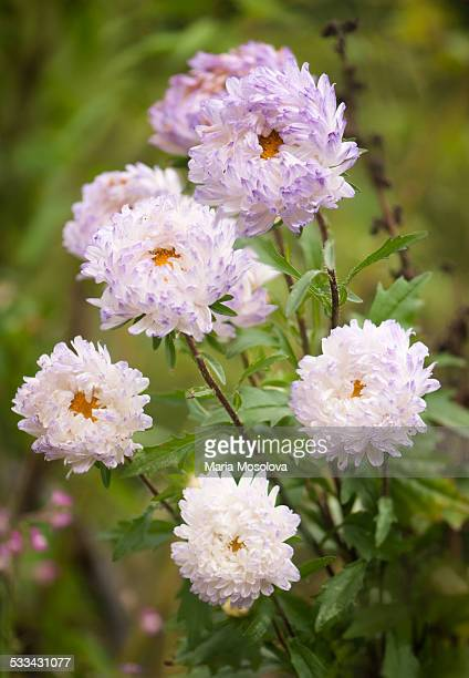 White Aster Flowers with Purple Tips