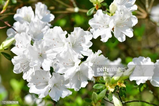 white azalea blossoms - azalea stock pictures, royalty-free photos & images
