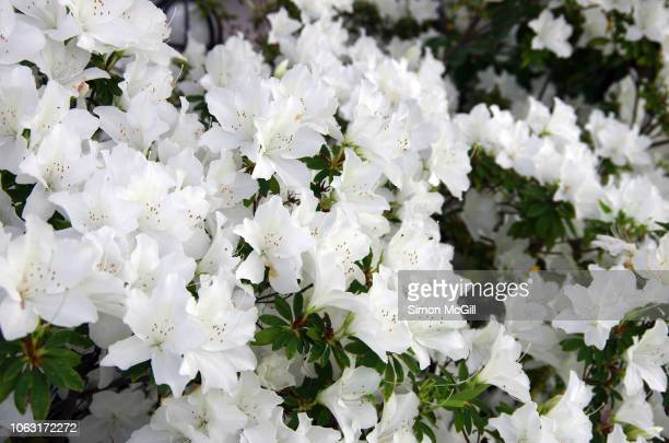 white azalea bush in bloom during springtime - azalea stock pictures, royalty-free photos & images
