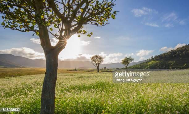 White barbarea vulgaris field against the blue sky with sun star through big tree