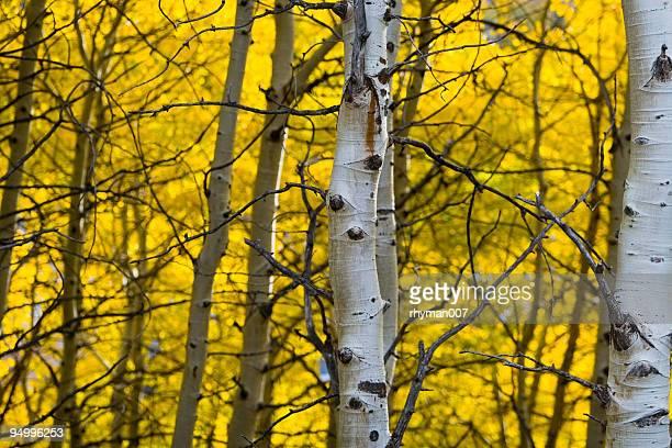 ホワイトバークの黄色のアスペン - ユタ州 パークシティ ストックフォトと画像