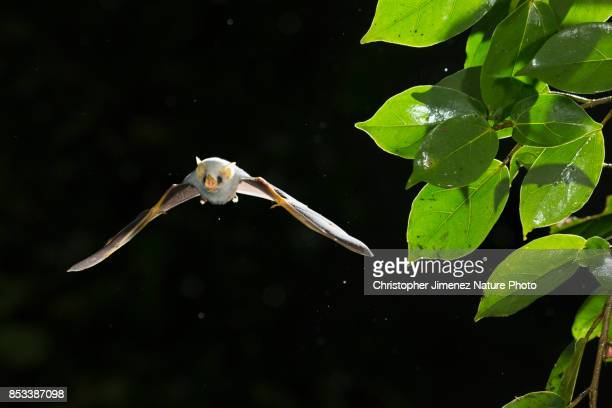 white bat in flight during the night in the rainforest - bat animal stock pictures, royalty-free photos & images