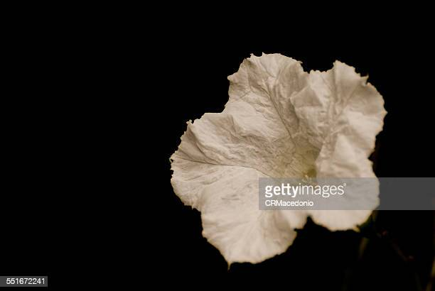 white beautiful flower - crmacedonio stockfoto's en -beelden
