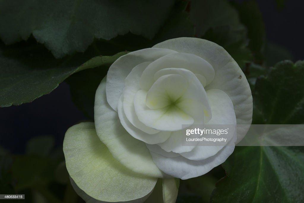 White begonia : Stock Photo