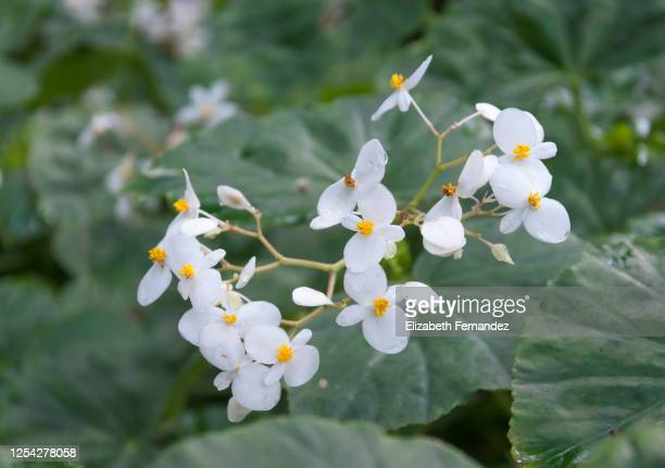 white begonia with yellow stamen and green leaves, close-up. - begonia stock pictures, royalty-free photos & images