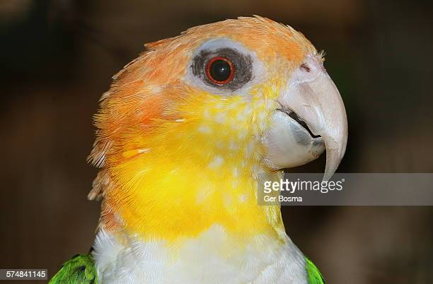 white bellied caique parrot - animal abdomen stock photos and pictures