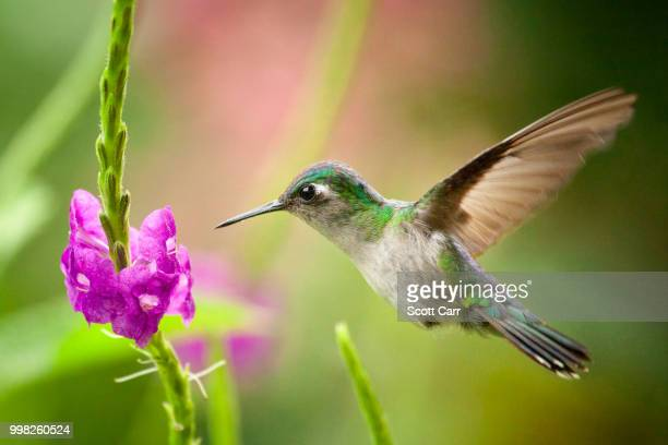 white bellied mountaingem - hummingbird stock pictures, royalty-free photos & images
