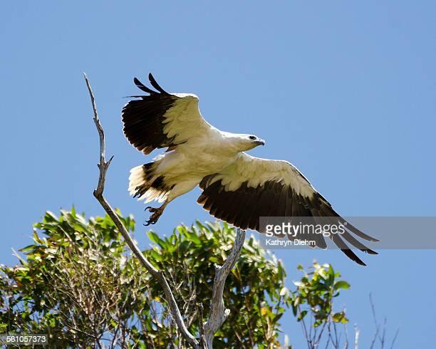white bellied sea eagle taking off.