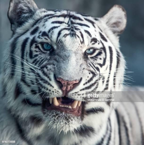 white bengal tiger (panthera tigris tigris) head, seattle, washington, usa - big cat stock pictures, royalty-free photos & images
