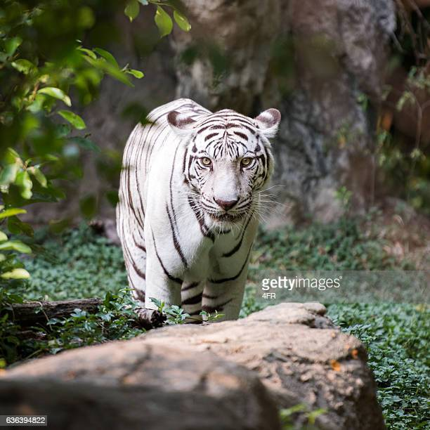 white bengal tiger in wildlife - rare stock pictures, royalty-free photos & images