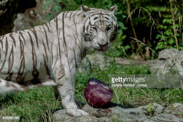 A white Bengal tiger looks at the Bioparco zoo on August 4 2017 in Rome Italy Over the last few days due to temperatures hitting 40 degrees the staff...
