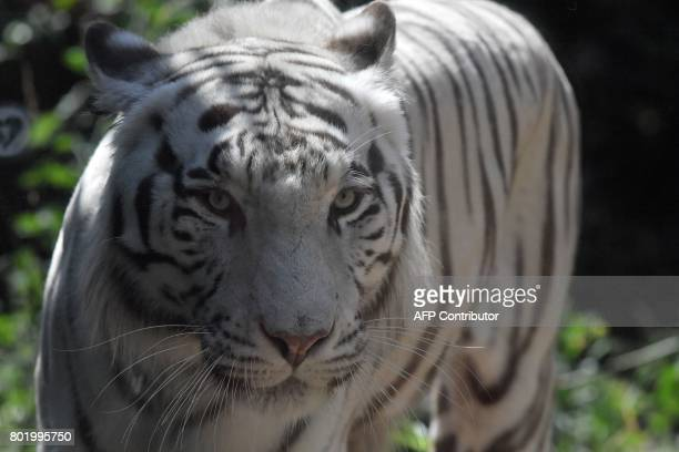 A white Bengal tiger looks on at the 'Bioparco' zoo on June 27 2017 in Rome / AFP PHOTO / Tiziana FABI