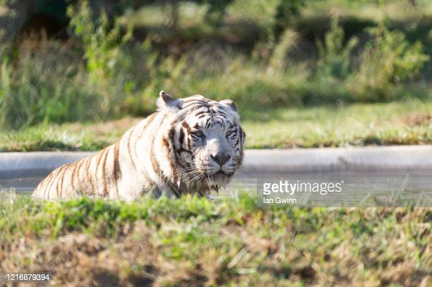 white bengal tiger - ian gwinn stock pictures, royalty-free photos & images