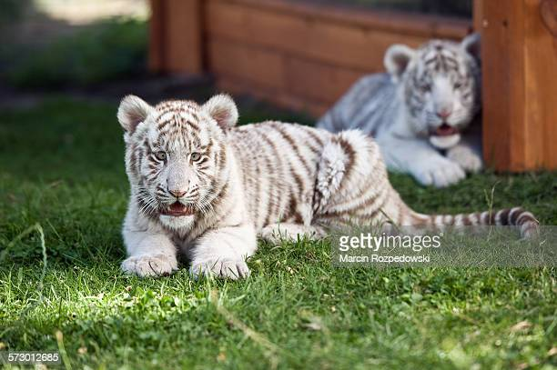 white bengal tiger - white tiger stock photos and pictures