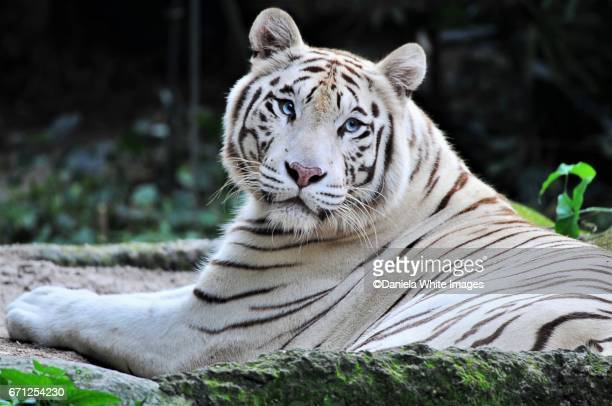 White Bengal/Panthera Tigris- facing camera