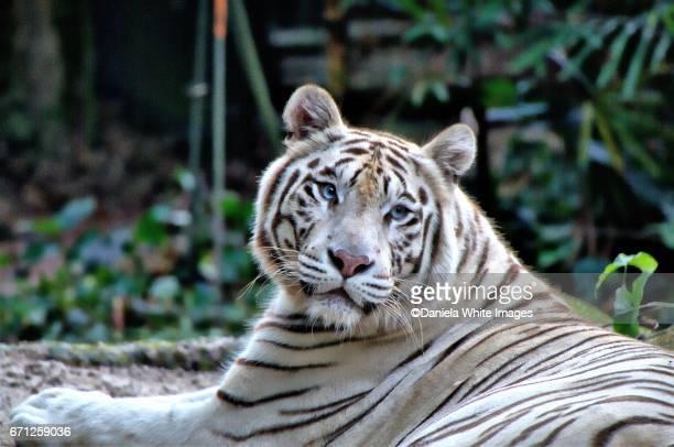 white bengal/panthera tigris - tigre de bengala fotografías e imágenes de stock