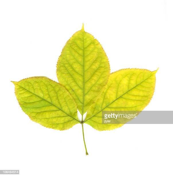 White Birch Leave