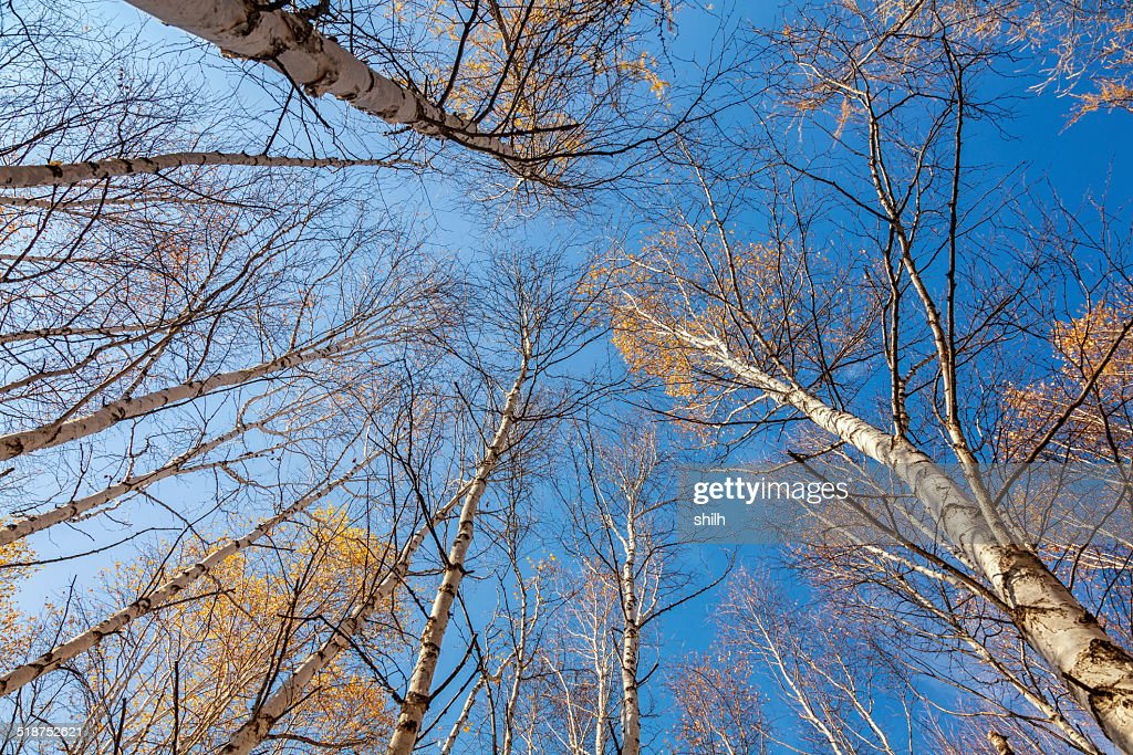 4ae6c58790 White Birch tops birch trees against of the sky   Stock Photo
