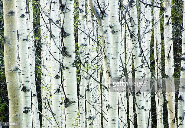 bianco betulla foresta - ogphoto foto e immagini stock