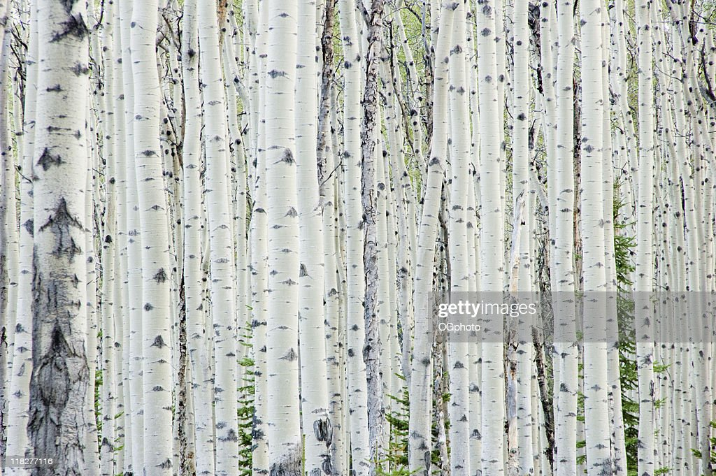 White birch tree forest : Stock Photo