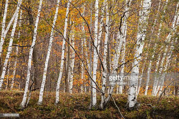 White Birch trees and Sugar Maple trees in the Fall in Westminster, Vermont.