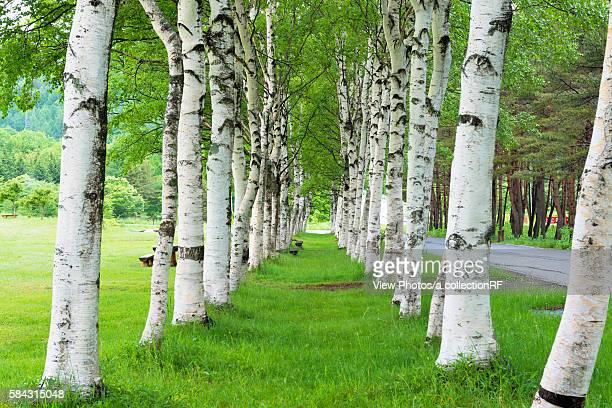 white birch woods - 岩手県 ストックフォトと画像