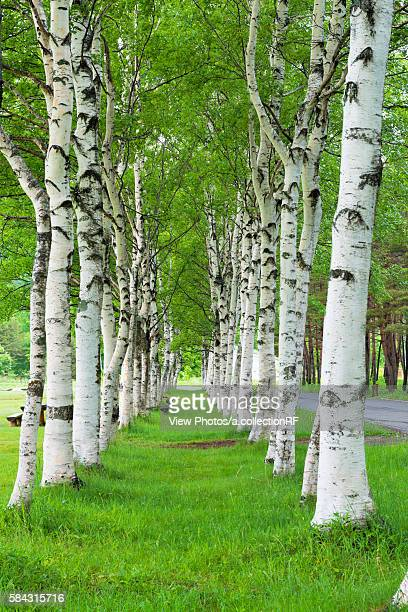 white birch woods - 八幡平市 ストックフォトと画像
