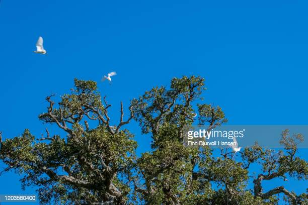 white birds taking of from a old oak tree - finn bjurvoll stock pictures, royalty-free photos & images