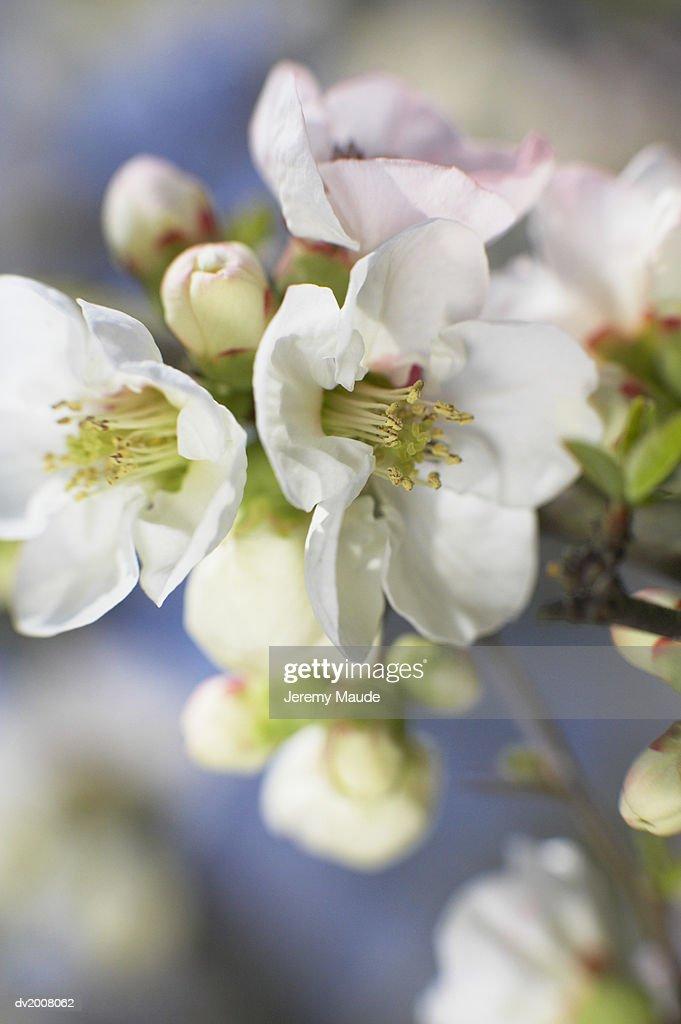 White Blossom, Japan : Stock Photo