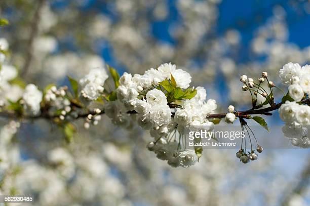 white blossom - londen stadgebied stockfoto's en -beelden