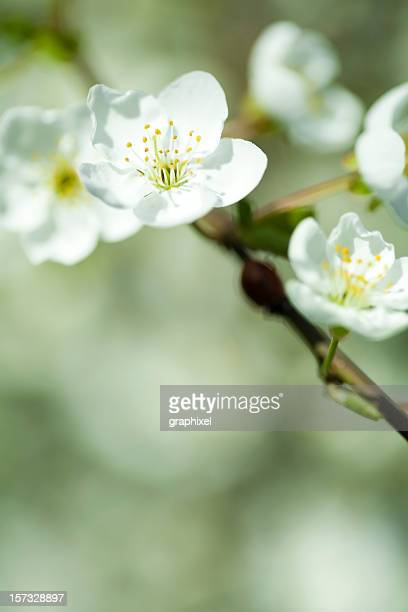 white blossoms - graphixel stock pictures, royalty-free photos & images