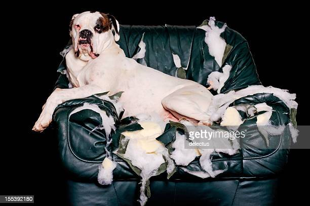 white boxer ist eine leder-stuhl - zerstörung stock-fotos und bilder
