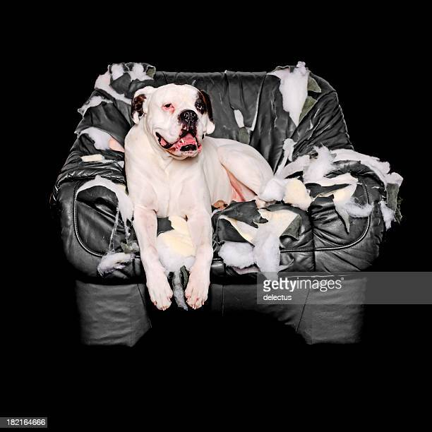 white boxer is on a leather chair - vernieling stockfoto's en -beelden