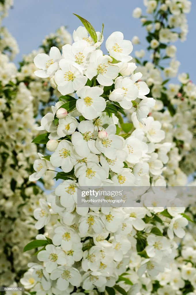 White Bradford Pear Tree Blossoms in Spring : Stock Photo
