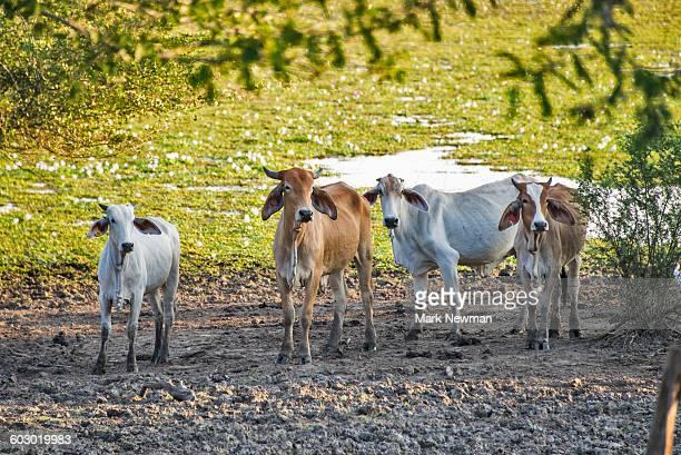 White Brahma Cattle